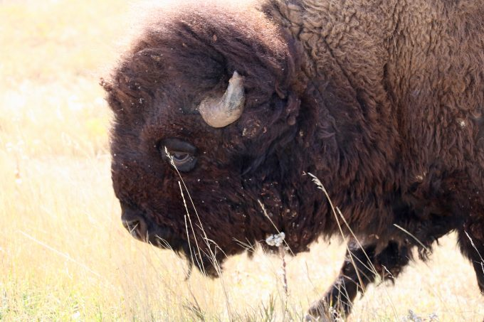 Buffalo/Bison at Custer State Park
