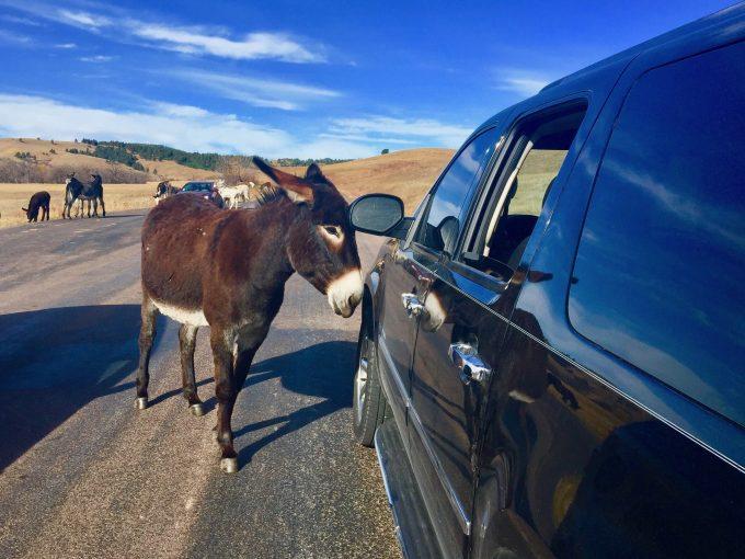 Braying Burros Custer State Park